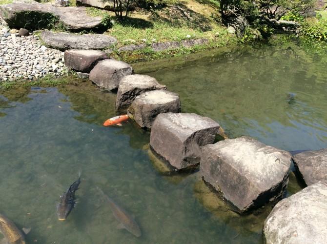 まるまるの鯉